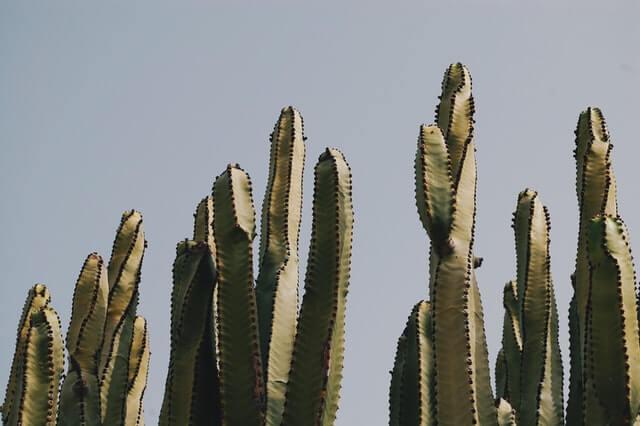 Kaktusowa skóra prosto z Meksyku